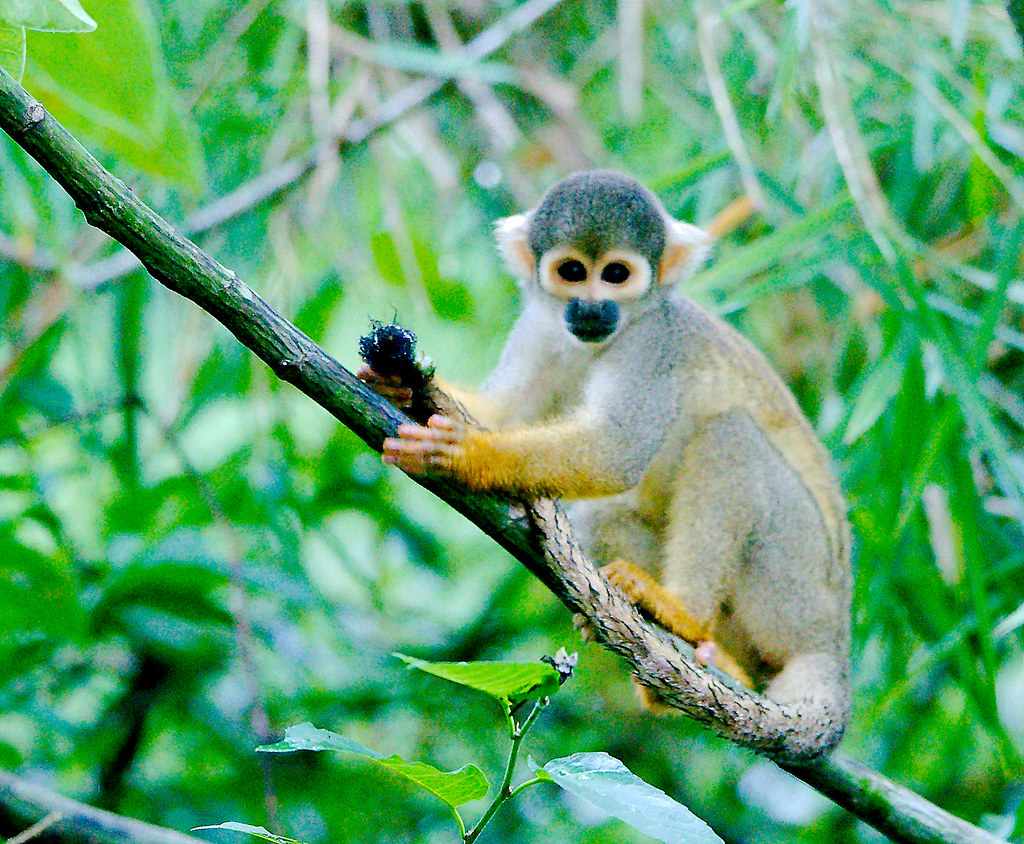 14_Black-capped Squirrel Monkey (Saimiri boliviensis)_1
