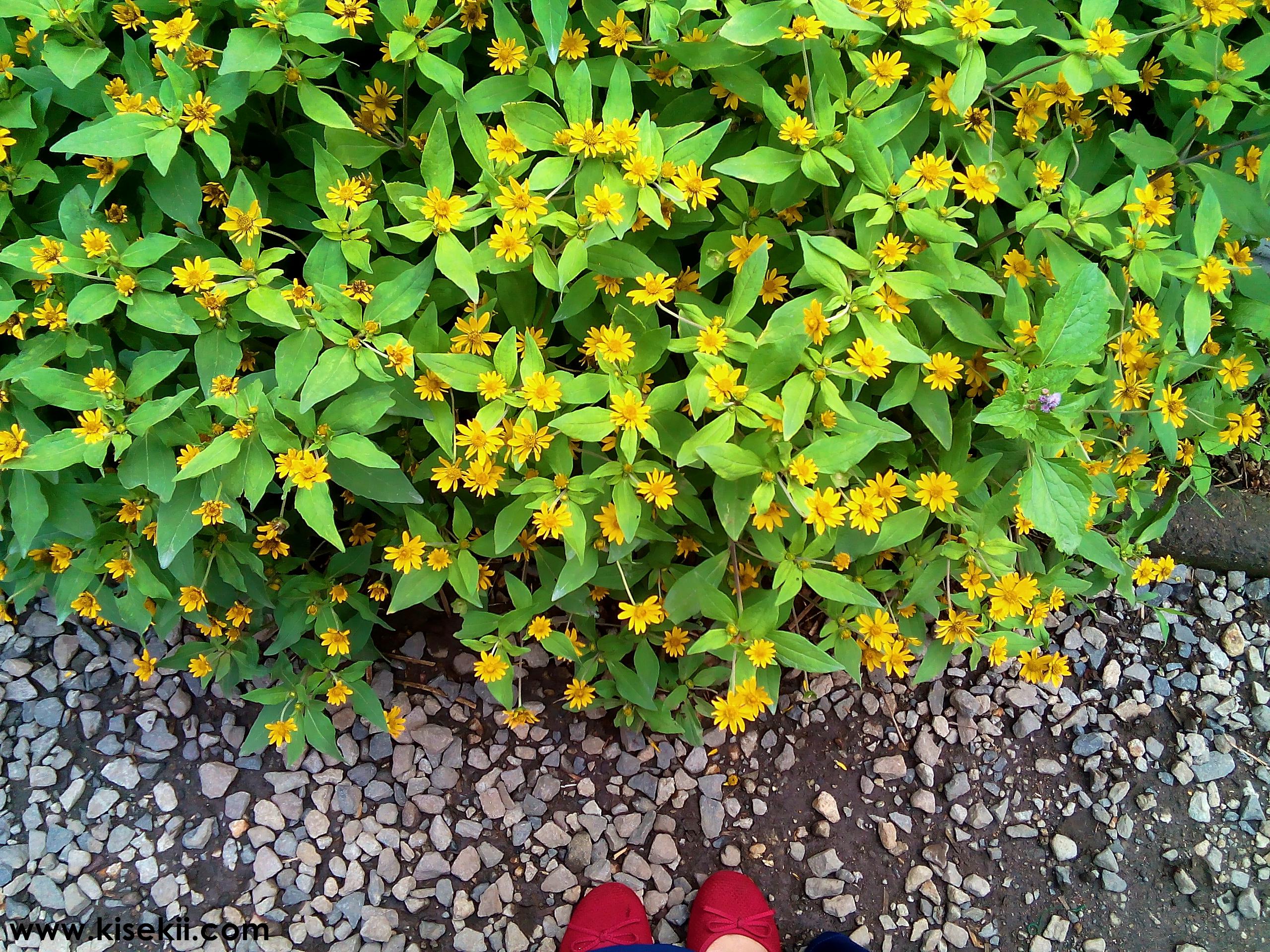 kebun-bunga-begonia-1