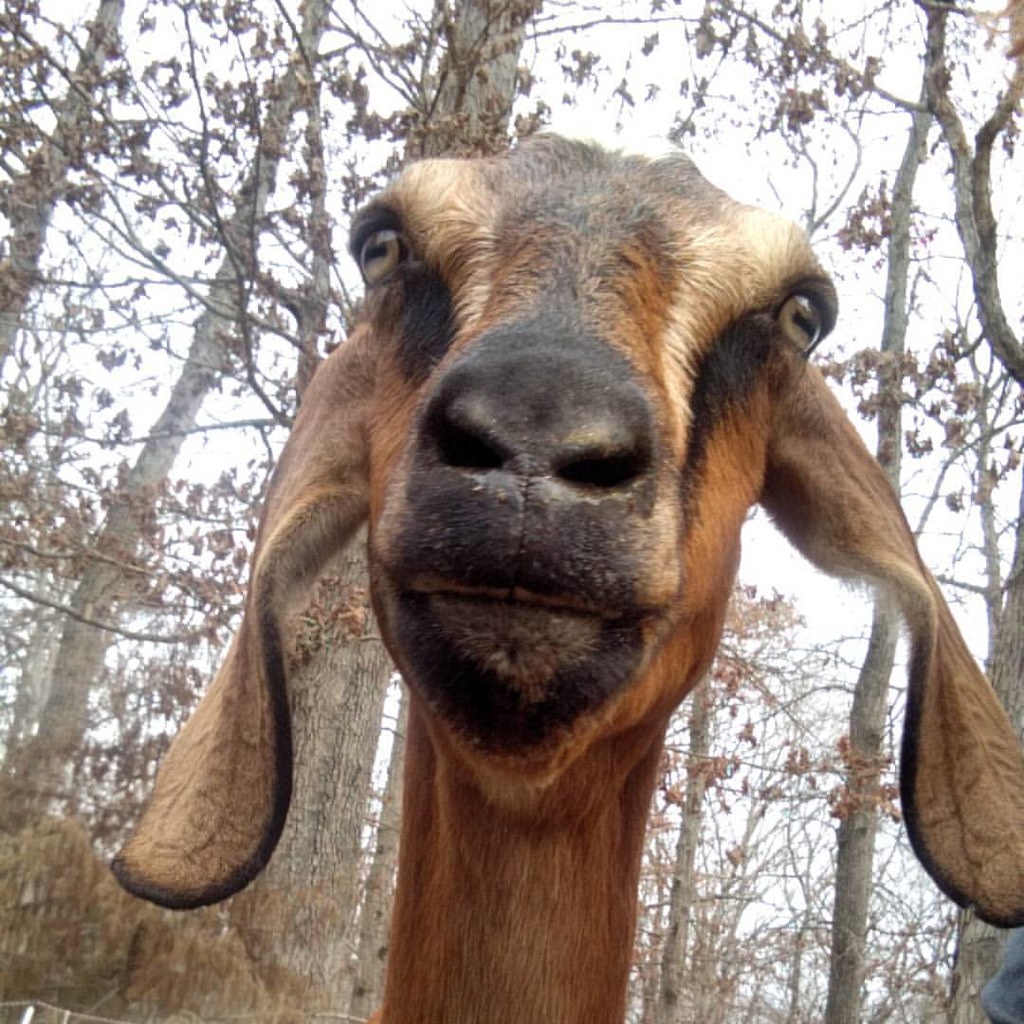 May, a golden red goat with dark stripes running from eyes to mouth, does her impression of a stern giraffe.