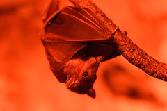 Fruit Bat Hanging from Branch