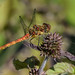 Dragonfly by Baljinder.Gill