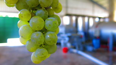 Semillon-Cyprus-wine-Fikardos-Winery