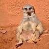 Just chilling out...Meerkat by stevelamb007