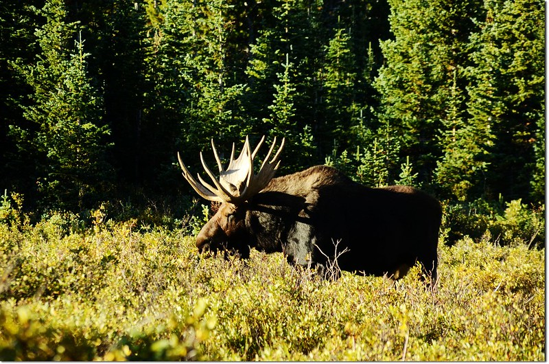 Moose at Brainard Lake (28)