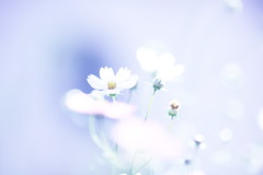 white cosmos