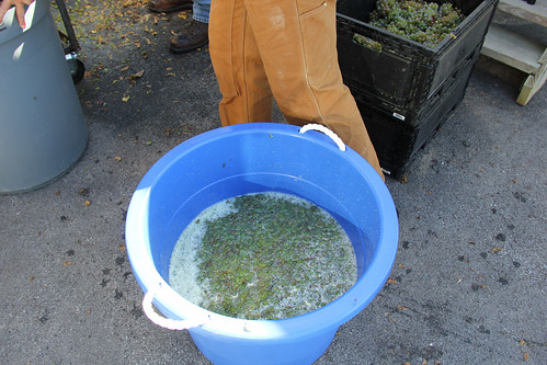 La Crosse grapes crushed