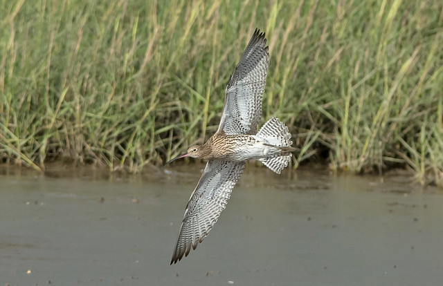 DSC_4955 Curlew