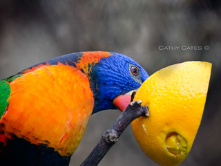 Lorikeet feasting on orange