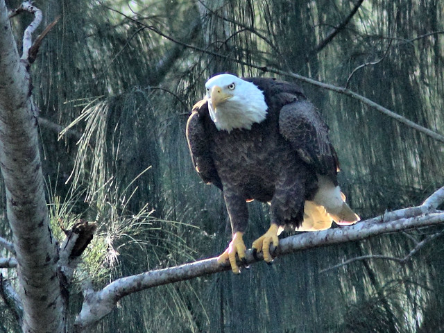 Bald Eagle Pride HDR 01-20151212