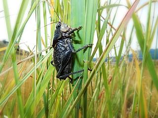 Giant grasshopper - Yellowstone National Park