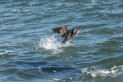 Cormorant Taking Off - frightened by Sea Lion