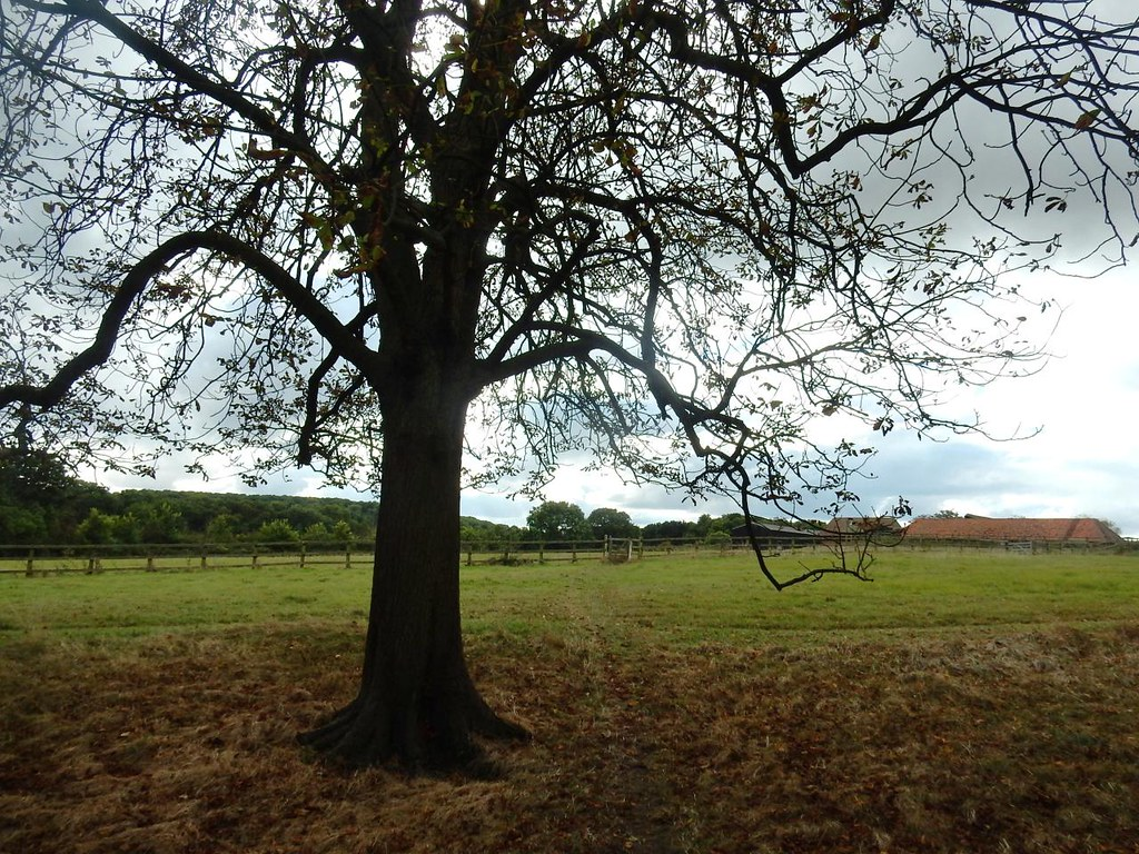 Tree near Highlands farm Sandy to Biggleswade