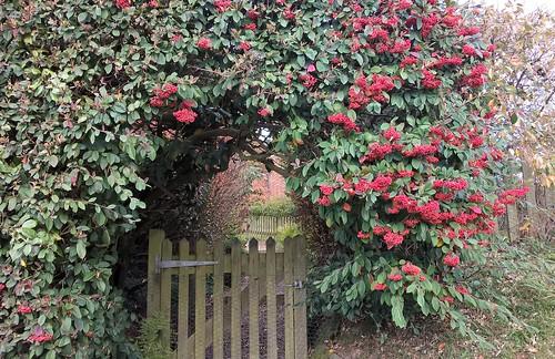 Rowan bush opposite Pococksgate Farm