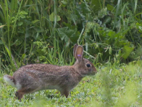 New England Cottontail rabbit