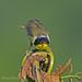 Common Yellowthroat by b88harris