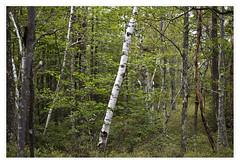 Birch tree Lake Minnewaska