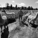Llamas by mellis61