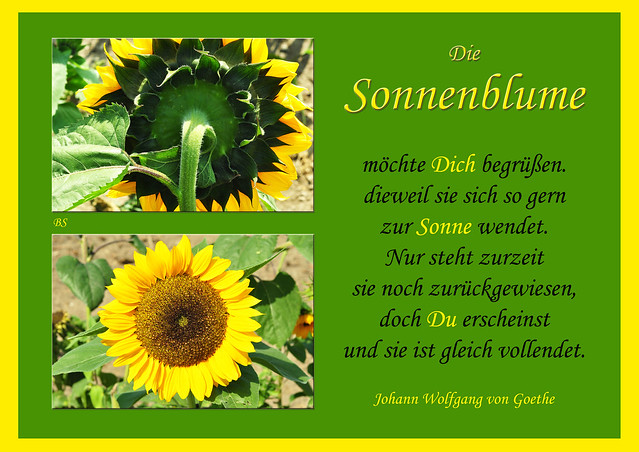 Mannheim Seckenheim September 2015 Sonnenblume Sonnenblumenfeld Collage Gedicht Goethe Fotos Brigitte Stolle