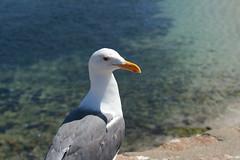 Hello, sea gull!
