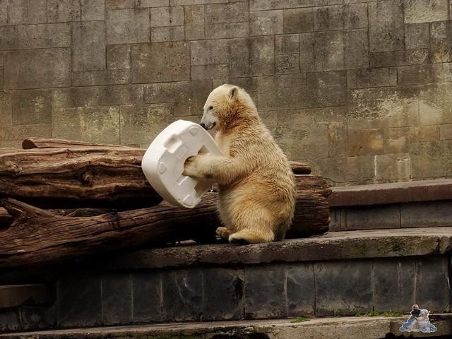Eisbär Fiete im Zoo Rostock 19-09.2015 Teil 3  021