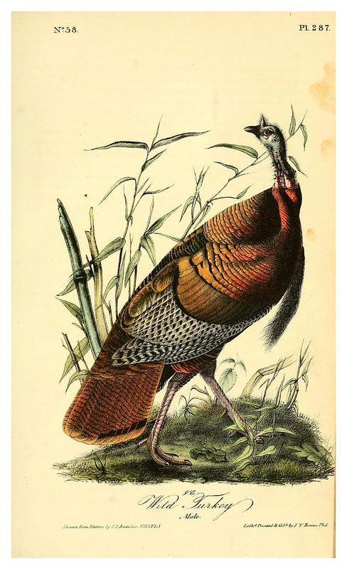017-Pavo salvaje-vol5-1840-The birds of America…J.J. Audubon