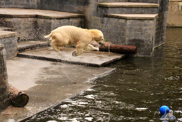 Eisbär Fiete im Zoo Rostock 19.09.2015 Teil 2  09
