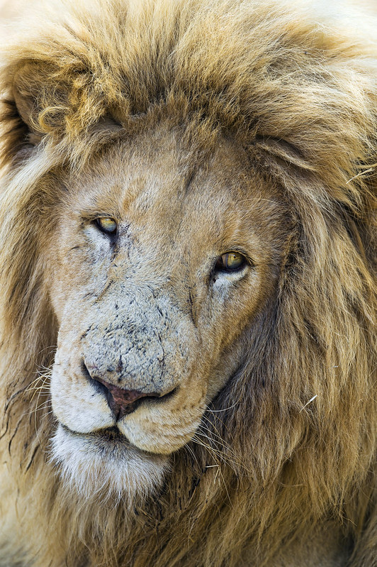 Nice portrait of a male lion a bit sleepy
