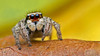 Habronattus viridipes jumping spider