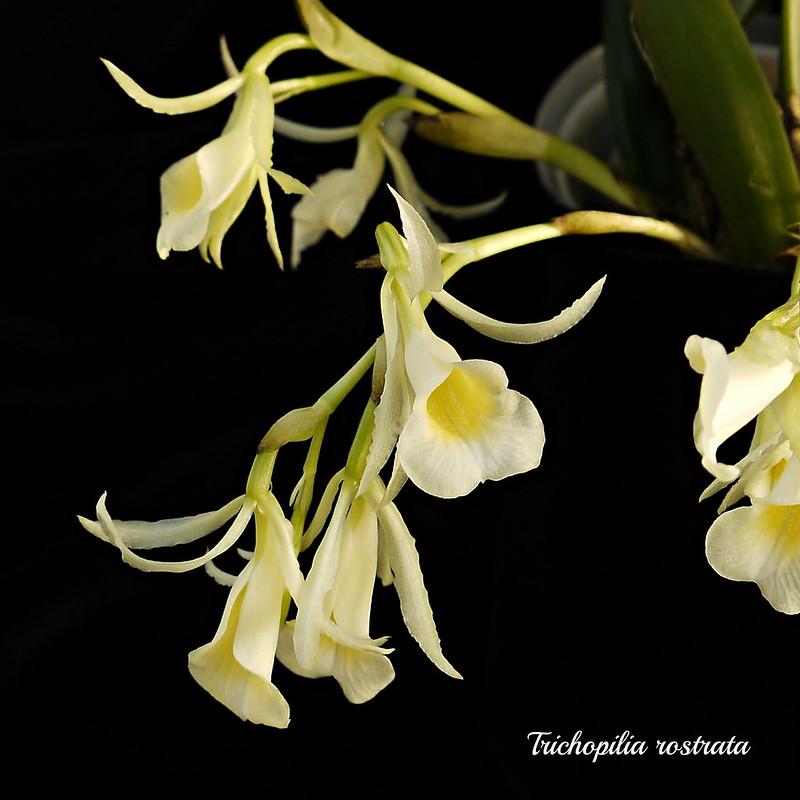 Trichopilia rostrata - Seite 2 22649572629_5410f1b6b6_c