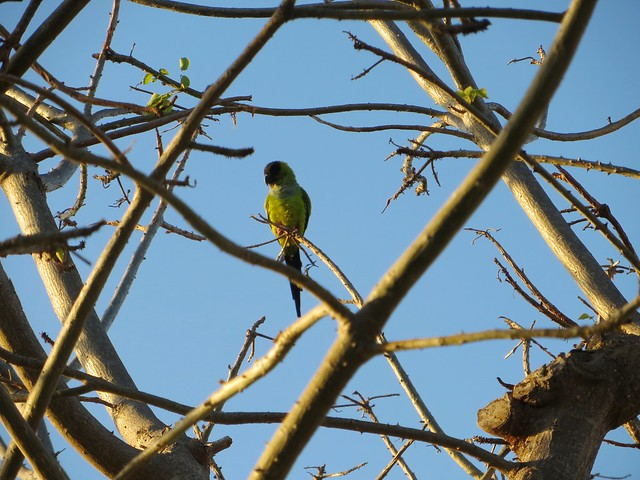 IMGhello, wild parrot_6027