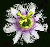 Passion Flower  iPhone/iPad