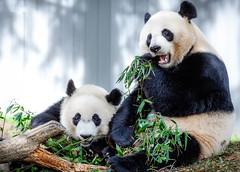 Mama Mei Xiang and baby Bei Bei having lunch outdoors