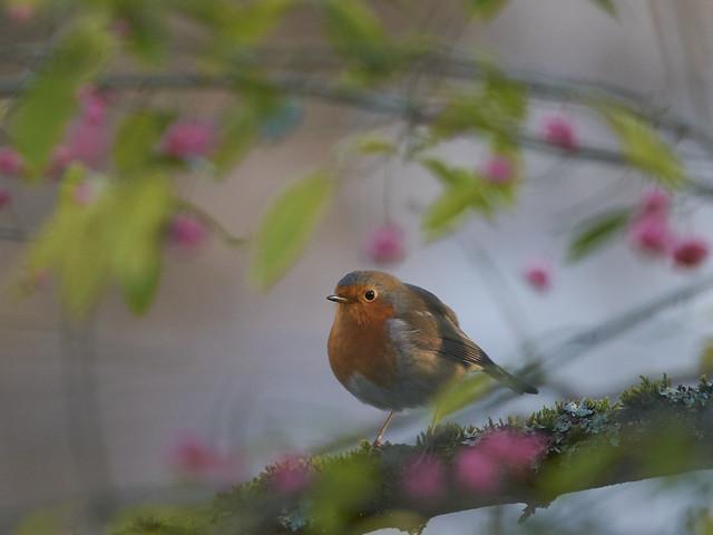 Robin rose