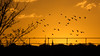 Sundown Pigeons 28 Nov 2016