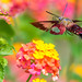 Clearwing Hummingbird Moth by Bill Varney