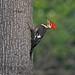 Pileated Woodpecker by b88harris