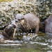 Fighting otters by Tambako the Jaguar
