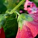 Small photo of Alcea rosea, wet