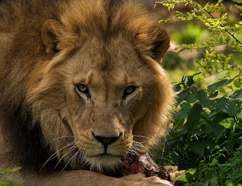 Löwenblick...