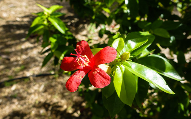 Hibiscus clayi