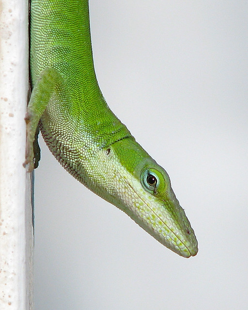 Green anole wraps up September