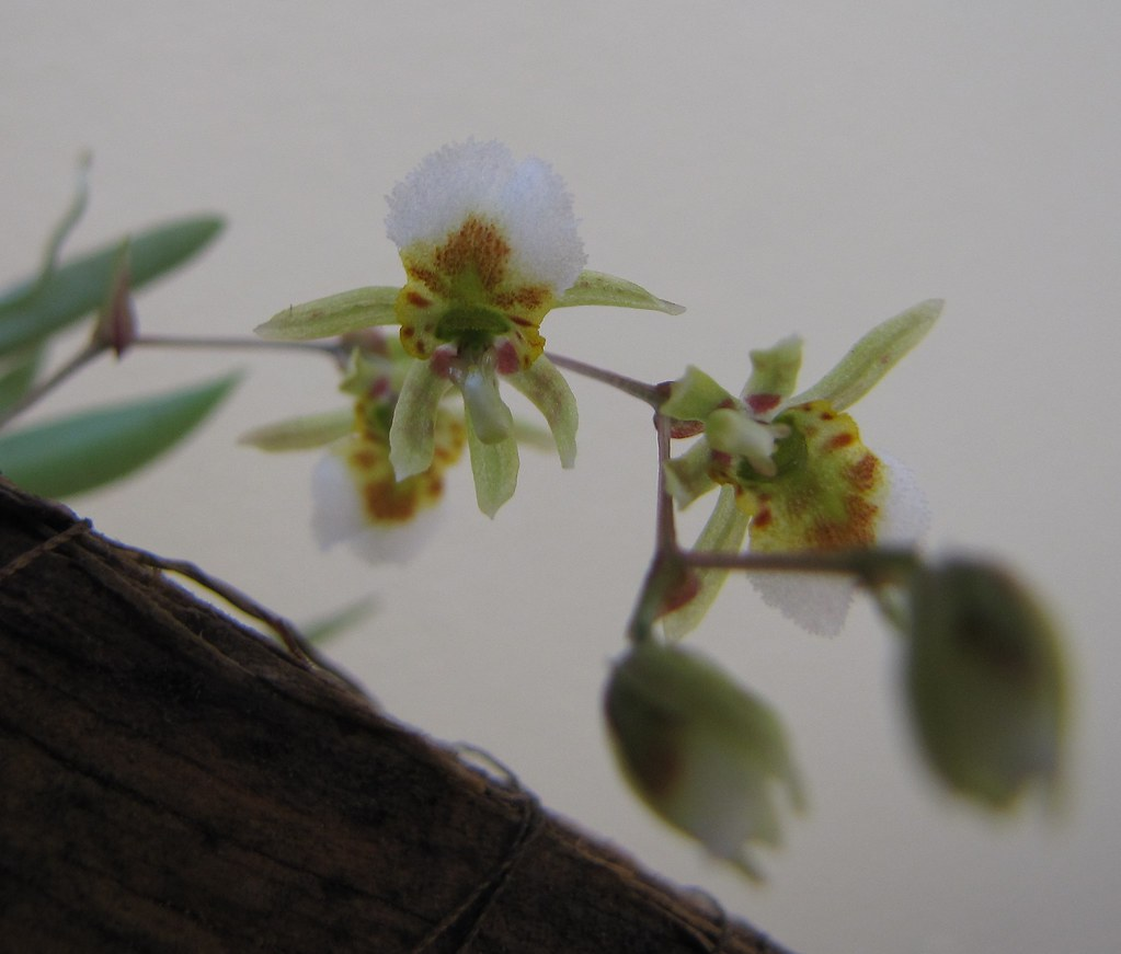 Resultado de imagem para Rauhiella brasiliensis