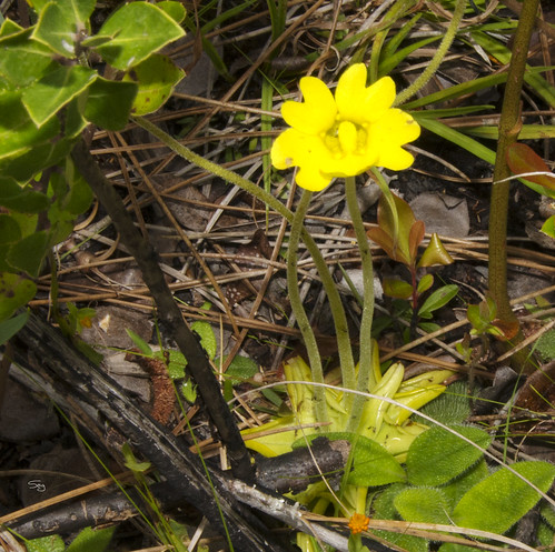 asteridae bladderwortlentibulariaceae mississippi plants scrophulariales spring16 flickr gautier unitedstates