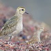 Small photo of American Golden-Plover