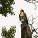 Red-tailed Hawk / Buteo jamaicensis by annkelliott