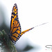 Monarch Butterfly by Vistan Photography