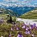 Alpine snowbells at the Nufenenpass - Wallis/Ticino - Schweiz [Explored #18 - backdated] by Felina Photography