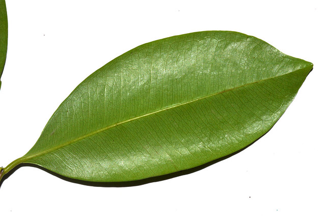 Syzygium branderhorstii DSC_0484 (2)-001