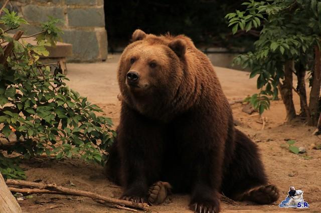 Eisbär Fiete im Zoo Rostock 26.09.2015   0144