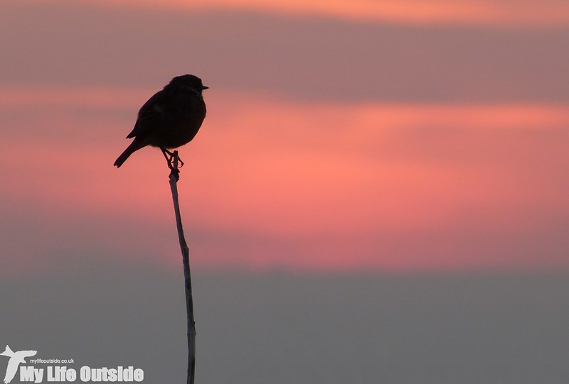 P1150750 - Stonechat at Sunset